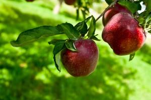 apples-on-tree
