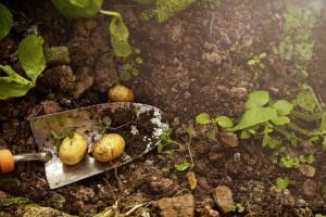 kartupelos
