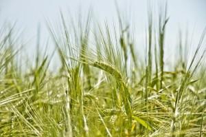barley-984297_640