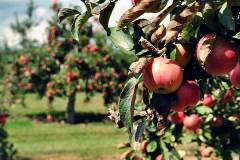 apple-orchards1