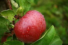 apple-tree-garden