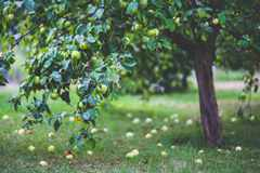 low-hanging-fruit-on-the-apple-tree